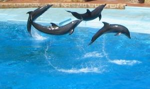 vier dolfyne